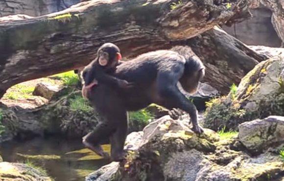 Детеныш шимпанзе КОКО отметил 8 месяцев в Биопарке Валенсии