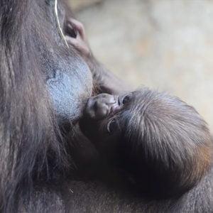 Апрель 2019 года. Детенышу горилле в Биопарке Виленсии исполнилась одна неделя и он самец