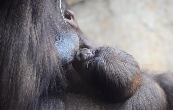 Апрель 2019 года. Детенышу горилле в Биопарке Валенсии исполнилась одна неделя и он самец