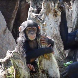 COCO исполнилось 10 месяцев в Биопарке Валенсии